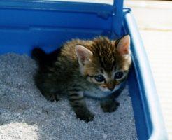 猫のストルバイト結石