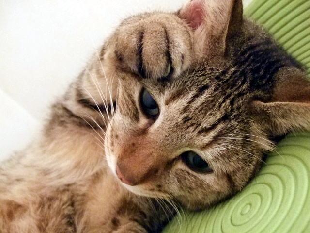 猫の健康のための手作りごはん「自然食」でも改善に時間がかかる猫の不調~腸の問題(下痢・皮膚炎)~
