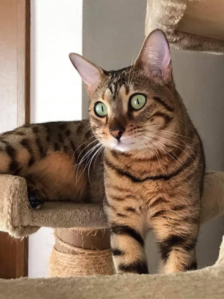 ディオネ様(ベンガル猫・生後3か月~・雌・避妊)のお客様の声