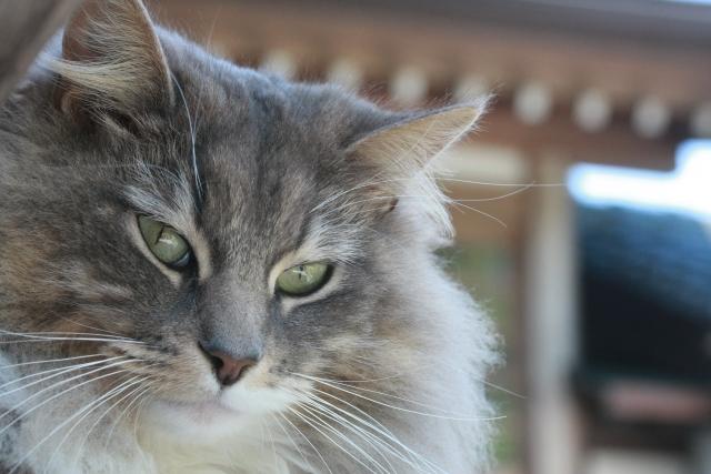猫は毛玉を吐いて当然?猫の毛玉が気になる方へ猫の毛玉対策と食事療法