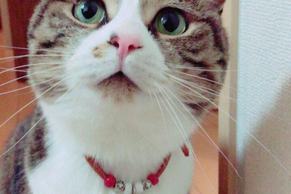 エマ様(Mix猫・6歳・雌・避妊・肥大型心筋症の診断)と、りえ様のお客様の声
