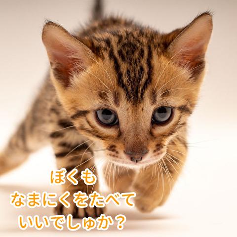 子猫に生肉を食べさせていい?
